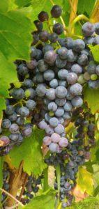 Vendanges en Provence au domaine des Oulliéres