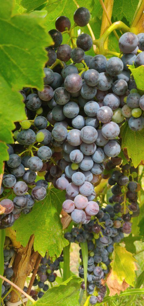 Vendanges-Provence-domaine-Oulliéres-viticole-provence