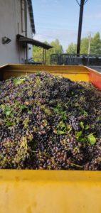 vignoble à lambesc vendanges coteaux d'aix en provencce vin provence wine rosé grenache