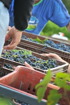 vendanges à la main en Provence
