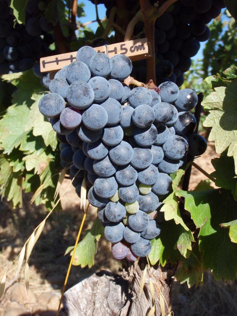 Caladoc dans les vins des Coteaux d'Aix en Provence domaine des oullières vin de provence lambesc provence wine red wine pink wine rosé